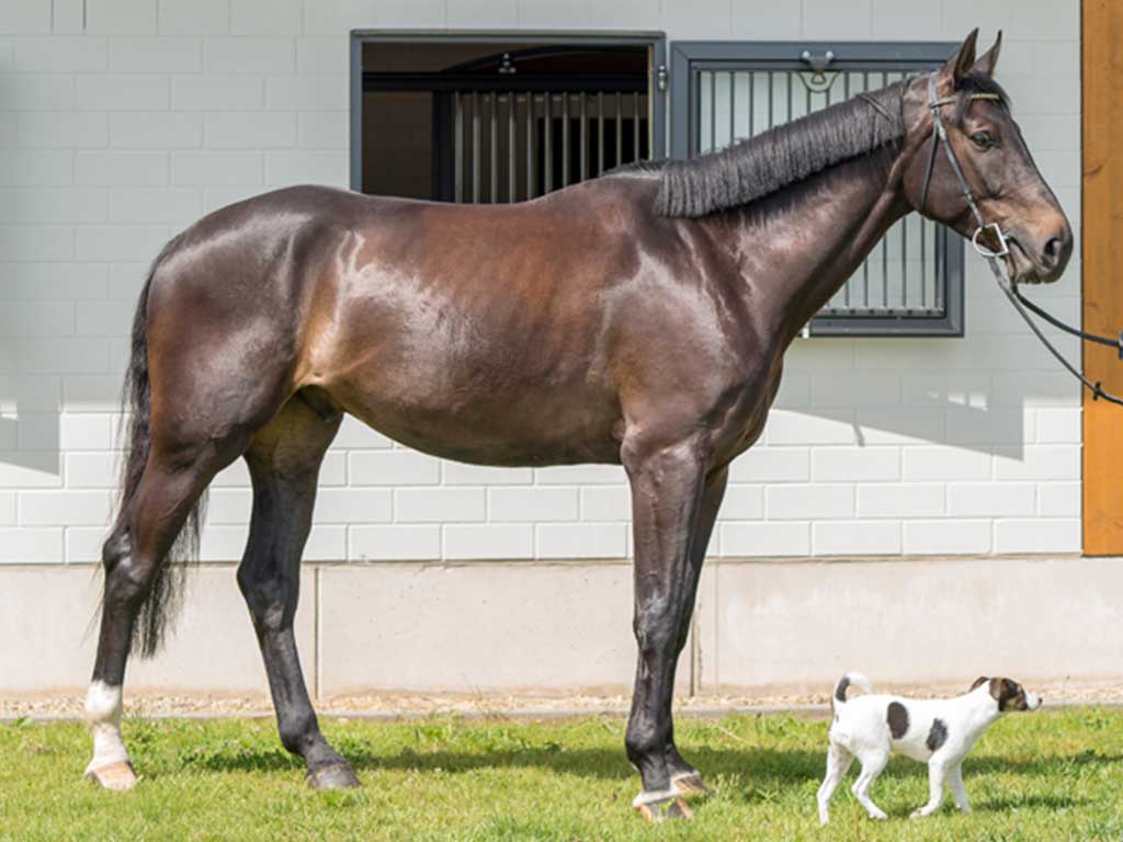 FBH Sport Horse ForeverYoung