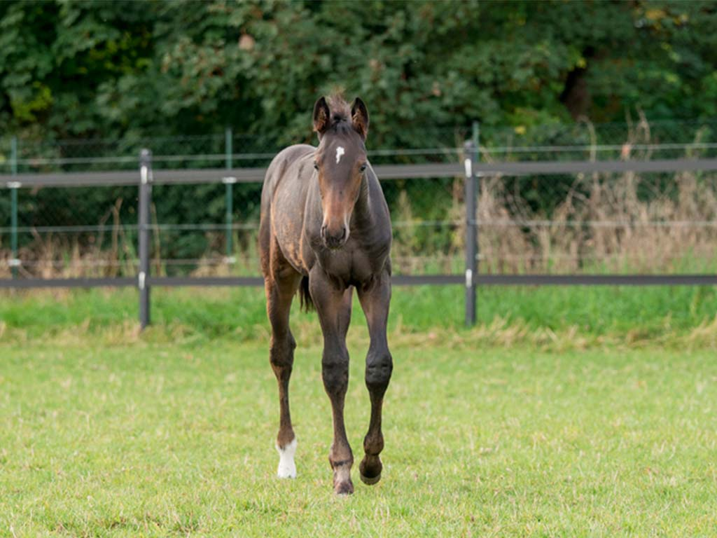 FBH Stables 2017 Mare Raven FBH Toulon x Damiro B