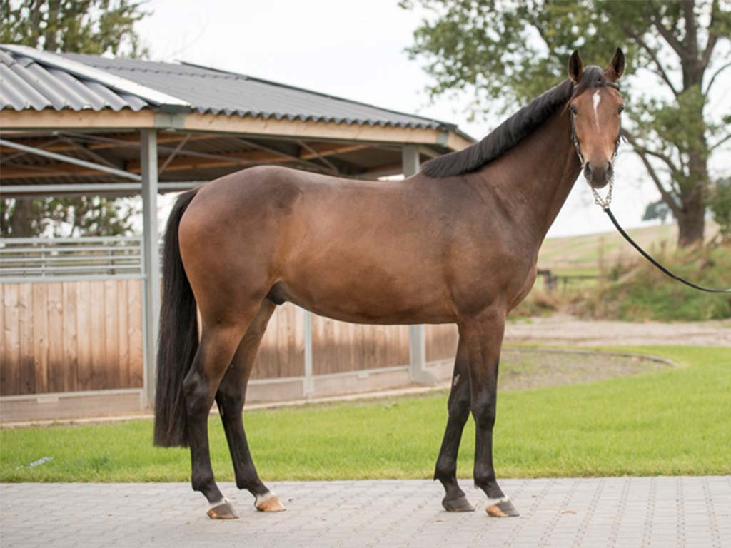FBH Sport Horse Nimmer